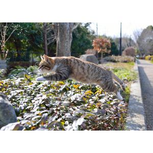 フリー写真, 動物, 哺乳類, 猫(ネコ), キジ白猫, ジャンプ(動物)