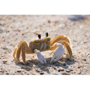フリー写真, 動物, 甲殻類, 蟹(カニ)