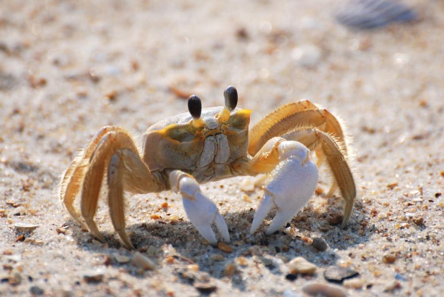フリー写真 砂浜のかに