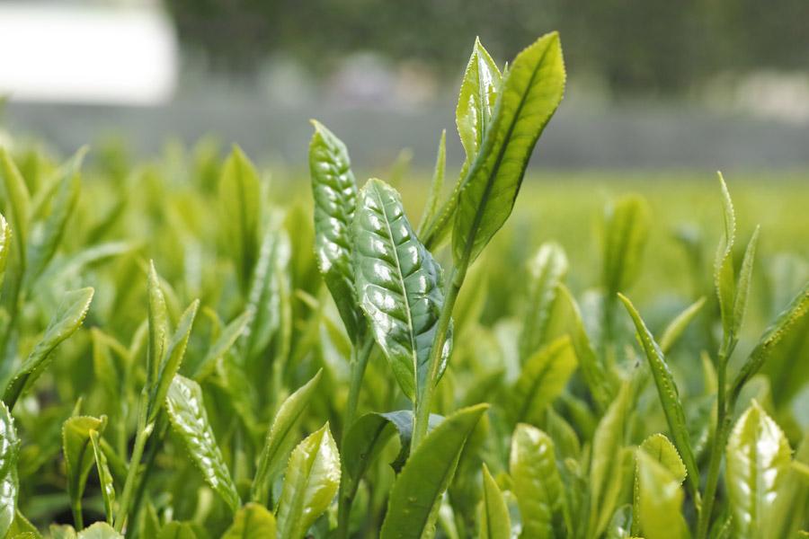 フリー写真 新茶の芽