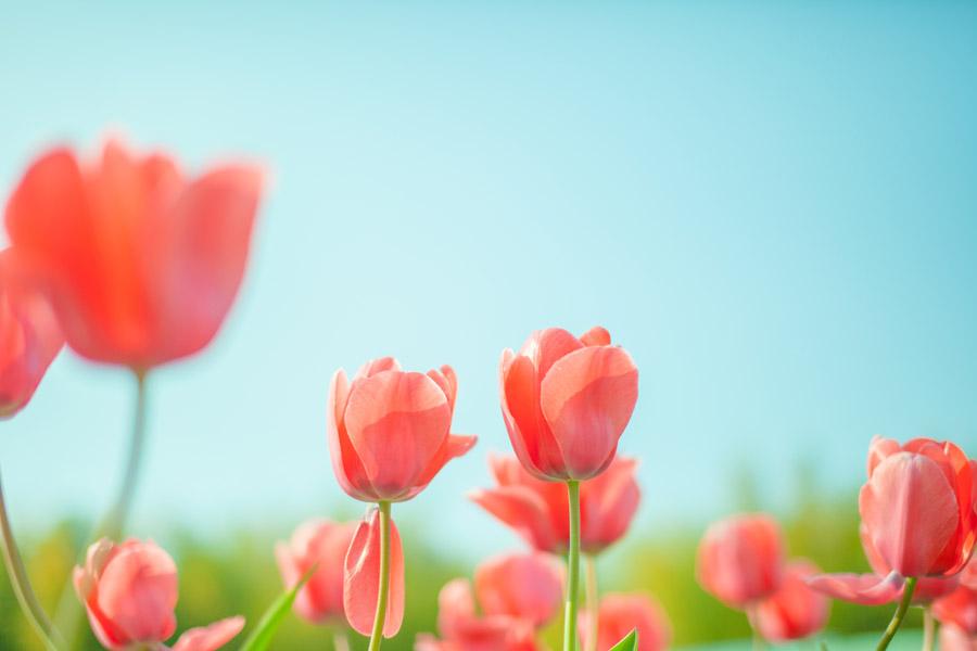 フリー写真 赤色のチューリップの花と青空