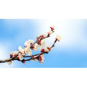 フリー写真, 植物, 花, 杏子(アンズ), 枝, 青空, 春