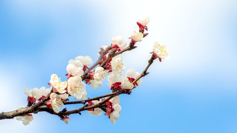 フリー写真 杏の花