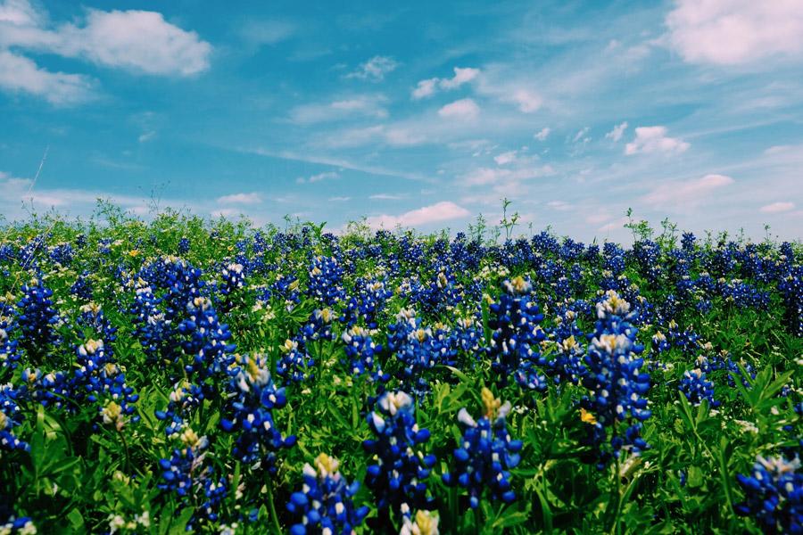 フリー写真 テキサスルピナスの花畑