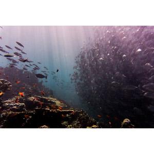 フリー写真, 風景, 自然, 海, 水中, 動物, 魚類, 魚(サカナ), 群れ, 鯵(アジ), 薄明光線, マレーシアの風景, シパダン島