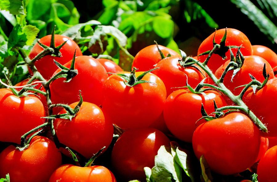 フリー写真 新鮮なトマト