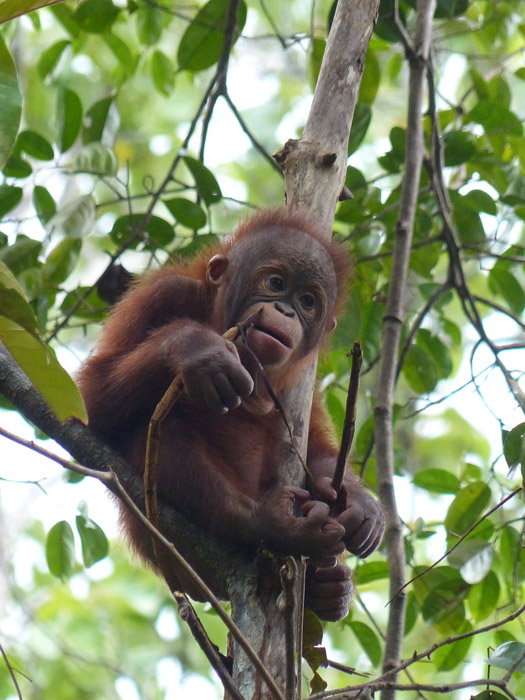 フリー写真 オランウータンの赤ちゃん