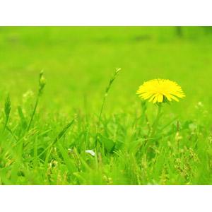 フリー写真, 植物, 草むら, 草, 花, 蒲公英(タンポポ), 黄色の花, 春