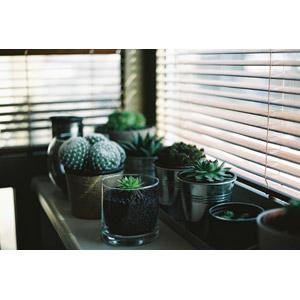 フリー写真, 植物, 多肉植物, サボテン, ブラインド