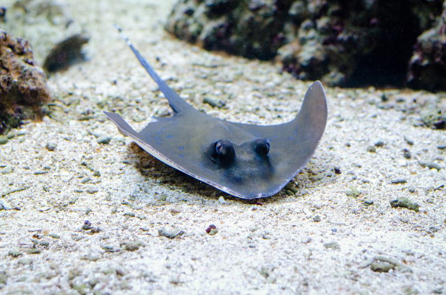 フリー写真 海底にいるエイ