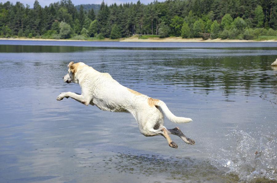 フリー写真 湖にダイブする犬