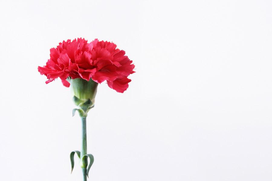 フリー写真 一輪のカーネーションの花