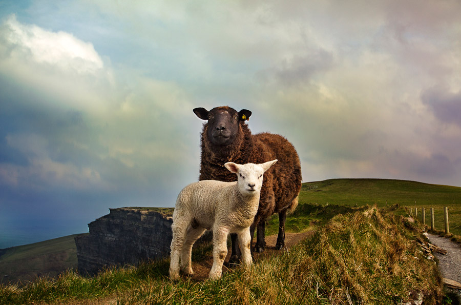 フリー写真 母親羊と子羊