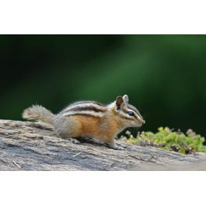 フリー写真, 動物, 哺乳類, 栗鼠(リス), シマリス