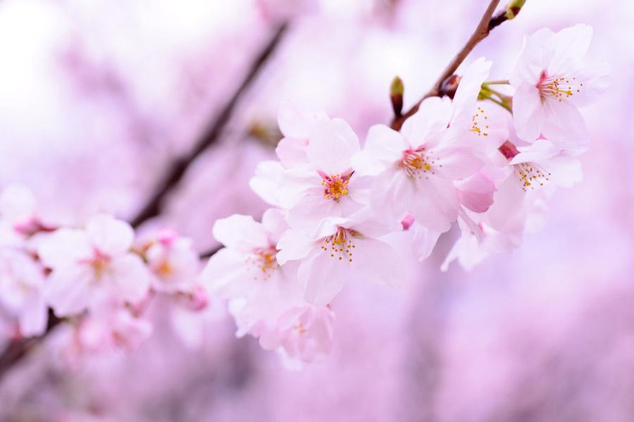 フリー写真 開花する桜の花
