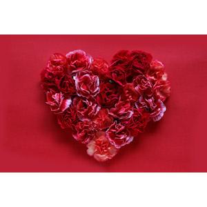 フリー写真, 植物, 花, カーネーション, 赤色の花, 年中行事, 母の日, 5月, 赤色(レッド), ハート