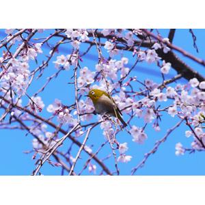 フリー写真, 動物, 鳥類, 鳥(トリ), メジロ, 春, 植物, 花, 桜(サクラ), しだれ桜