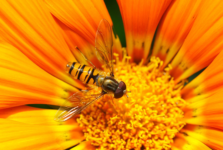 フリー写真 花の蜜を吸う虻