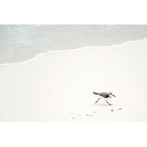 フリー写真, 動物, 鳥類, 鳥(トリ), ミユビシギ, ビーチ(砂浜), キューバの風景