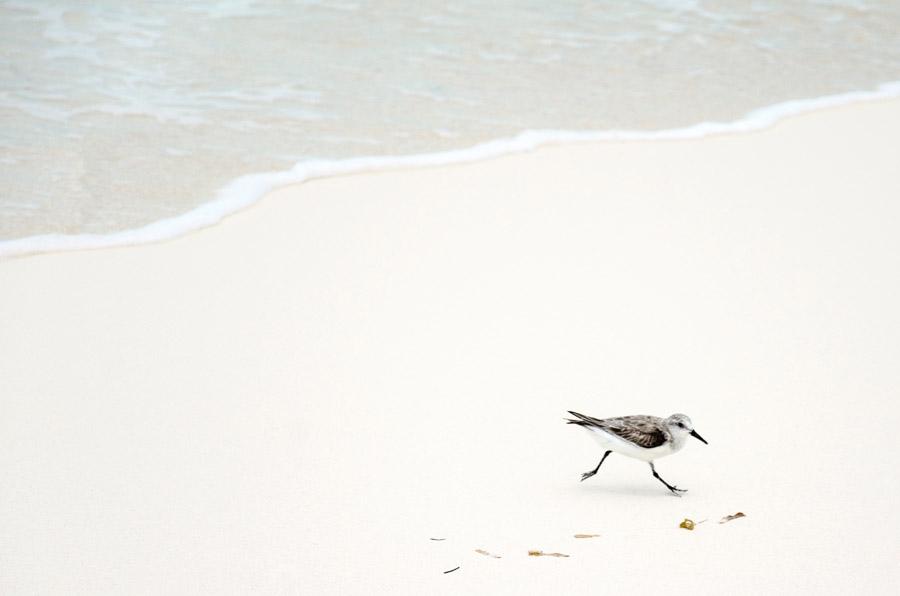 フリー写真 砂浜を歩くミユビシギ