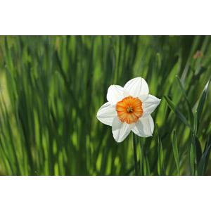 フリー写真, 植物, 花, 水仙(スイセン), 白色の花, 花畑