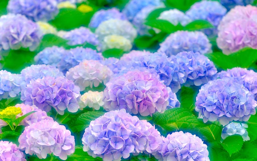 フリー写真 あじさいの花と葉っぱ