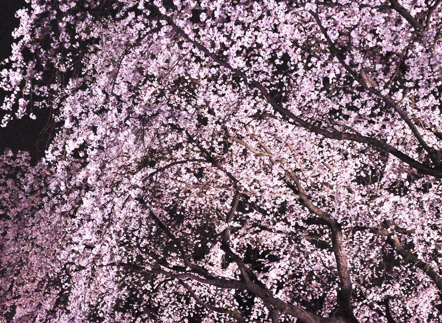 フリー写真 夜桜の風景