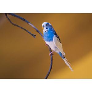 フリー写真, 動物, 鳥類, 鳥(トリ), インコ, セキセイインコ