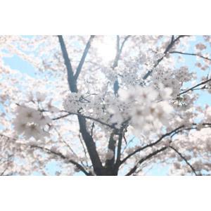 フリー写真, 風景, 自然, 樹木, 花, 桜(サクラ), 太陽光(日光), 春