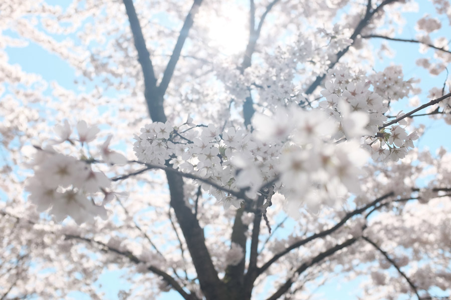 フリー写真 太陽の光と満開のさくらの木