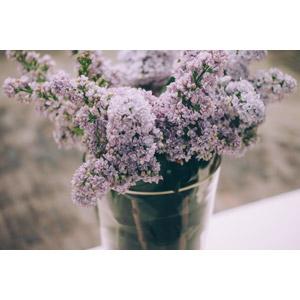 フリー写真, 植物, 花, ライラック, 紫色の花