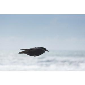 フリー写真, 動物, 鳥類, 鳥(トリ), 烏(カラス)
