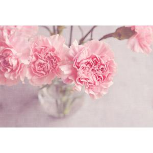フリー写真, 植物, 花, カーネーション, ピンク色の花, 年中行事, 5月, 母の日