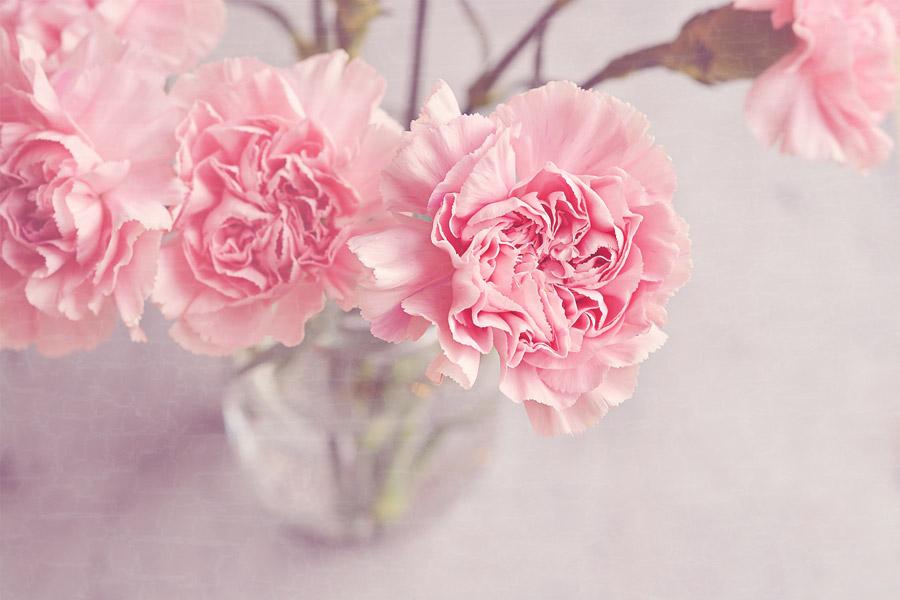 フリー写真 花瓶の中のピンク色のカーネーション