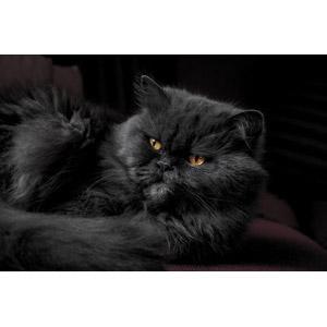 フリー写真, 動物, 哺乳類, 猫(ネコ), ペルシャ猫, 黒背景