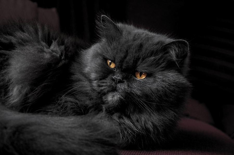 フリー写真 灰色の毛のペルシャ猫