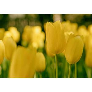 フリー写真, 植物, 花, チューリップ, 黄色の花, 花畑, 黄色(イエロー)