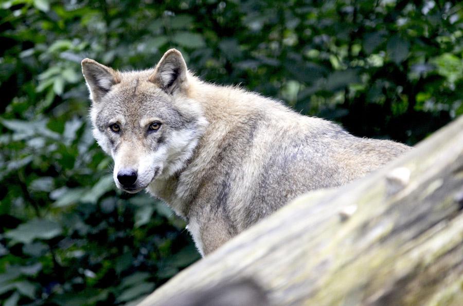 フリー写真 振り返るオオカミ