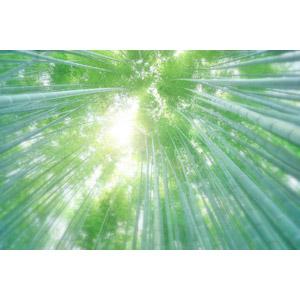 フリー写真, 風景, 自然, 竹林, 竹(タケ)