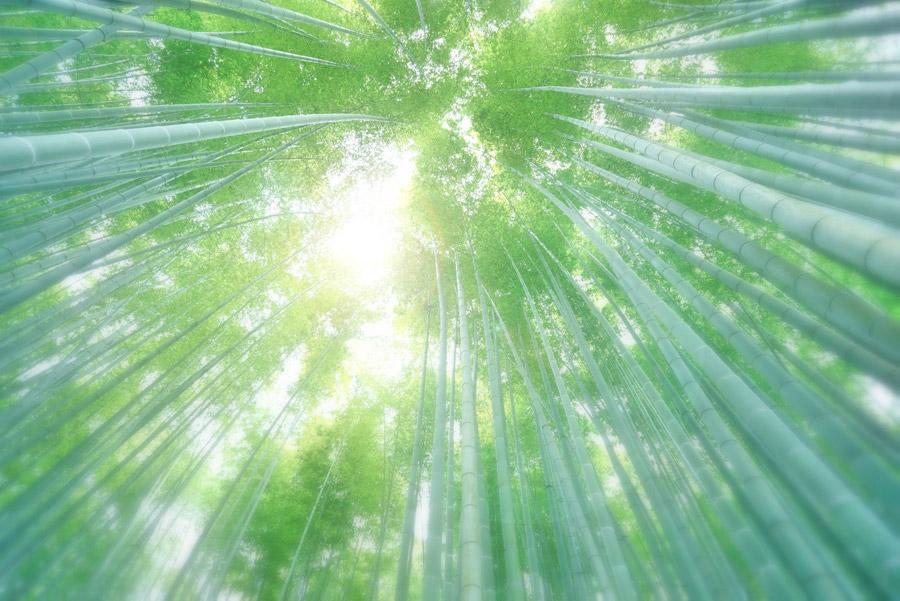 フリー写真 下から見上げる竹林の風景