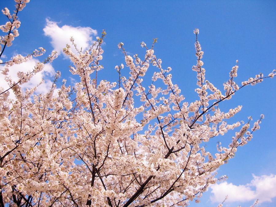 フリー写真 青空とさくらの花の風景