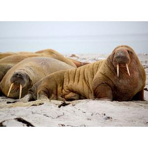 フリー写真, 動物, 哺乳類, セイウチ, 寝る(動物)