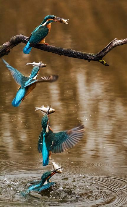 フリー写真 魚を捕るカワセミ