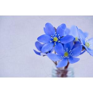フリー写真, 植物, 花, 三角草(ミスミソウ), 青色の花