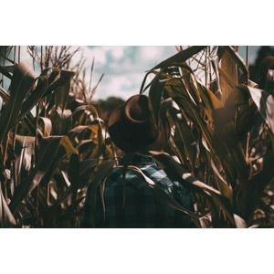 フリー写真, 人物, 男性, 後ろ姿, 帽子, 人と風景, 畑, 穀物, 作物, とうもろこし(トウモロコシ)