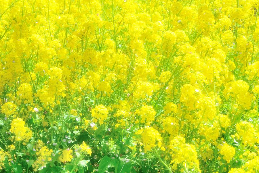 フリー写真 菜の花畑