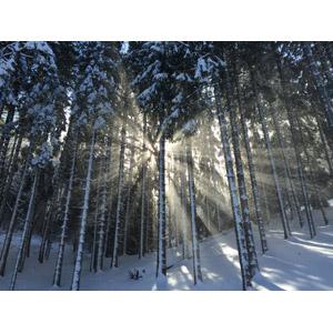 フリー写真, 風景, 自然, 森林, 樹木, 雪, 太陽光(日光), 木漏れ日, イタリアの風景, 冬