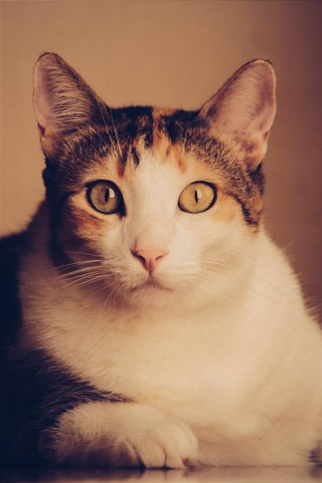 フリー写真 大きな目の三毛猫