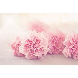 フリー写真, 植物, 花, カーネーション, ピンク色の花