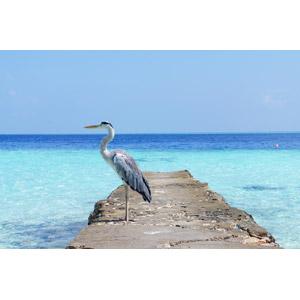 フリー写真, 動物, 鳥類, 鷺(サギ), アオサギ, 海, モルディブの風景